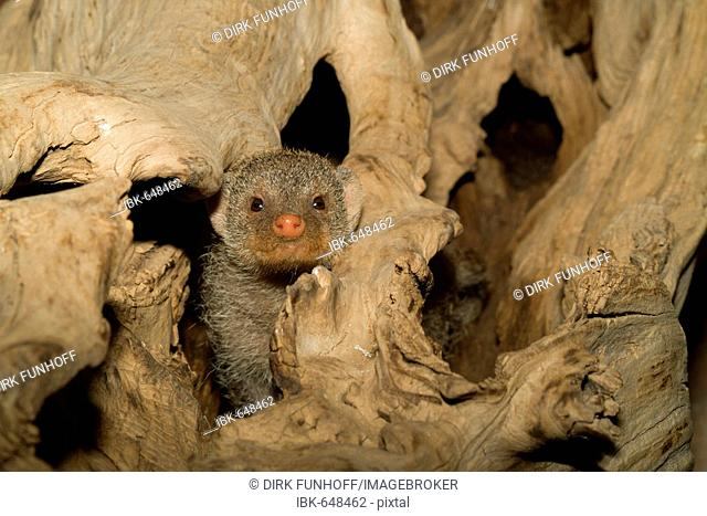 Banded Mongoose (Mungos mungo) peaking out of aged wood, Luisenpark, Mannheim, Baden-Wuerttemberg, Germany, Europe