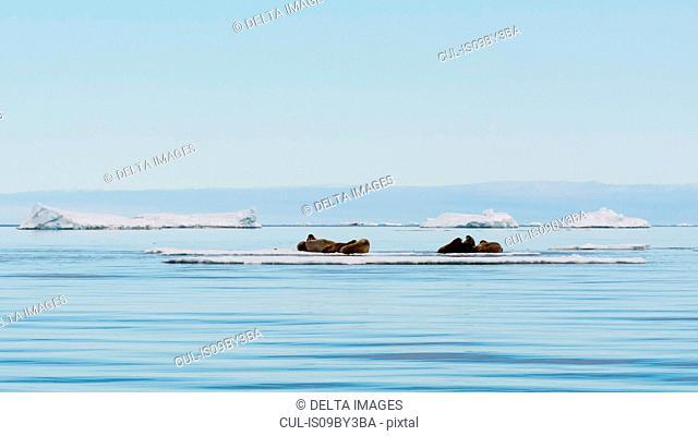 Atlantic walrus (Odobenus rosmarus) lying on iceberg, distant view, Vibebukta, Austfonna, Nordaustlandet, Svalbard, Norway