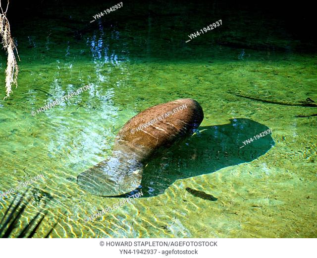 A Manatee in the warm waters of the Blue Spring Run at Blue Spring State Park, Florida. The manatee is a warm water aquatic mammal (Trichechidae