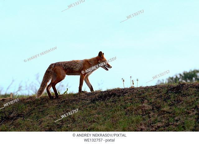 Red fox (Vulpes vulpes), Vladivostok, Far East, Russia