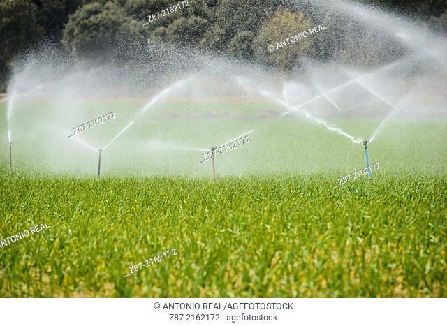 Garlic plantation, sprinkling irrigation, valley of river Záncara, Villarejo de Fuentes, Cuenca province, Castilla-La Mancha, Spain