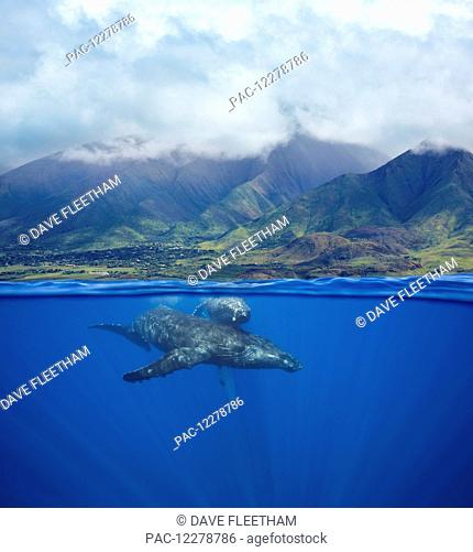 A split image of a pair of humpback whales (Megaptera novaeangliae) underwater in front of the West Maui Mountains just south of Lahaina; Maui, Hawaii