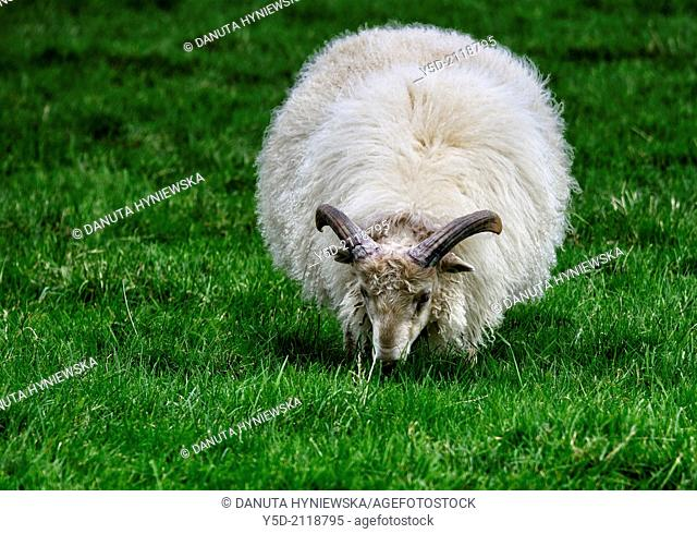 Icelandic sheep - producer of one of most famous wool in the world, Iceland