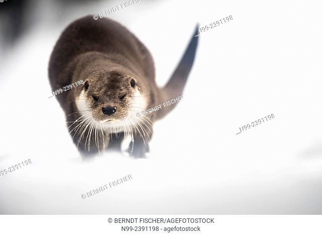 Otter (Lutra lutra), walking on frozen mountain creek, National Park Bayerischer Wald, Bavaria, Germany