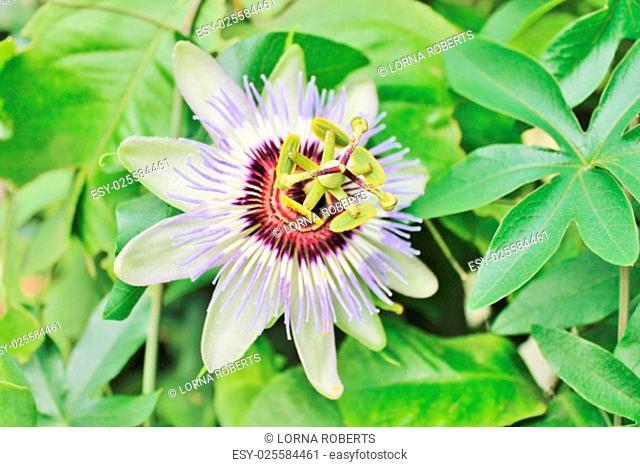 Multi colored Passiflora passion fruit flower macro