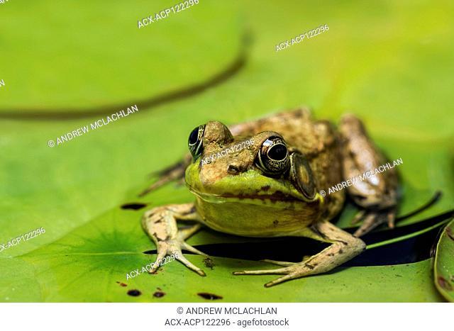 Green Frog (Rana clamitans) in wetland on Horseshoe Lake in Muskoka, near Parry Sound, Ontario, Canada