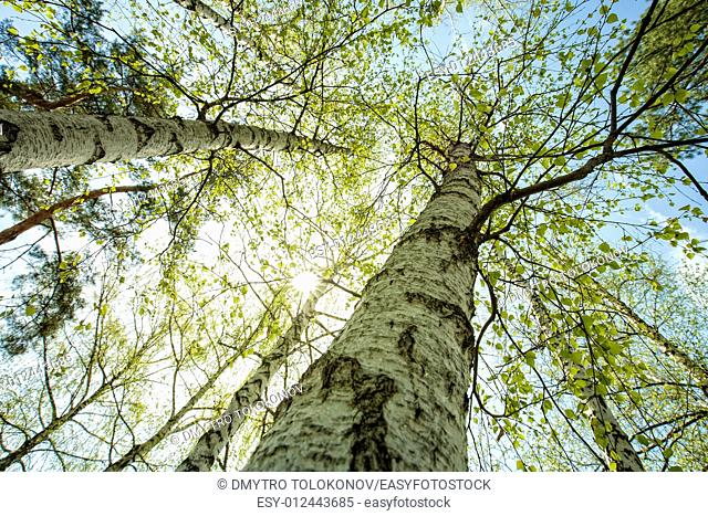 Birch forest, abstract natural backgrounds