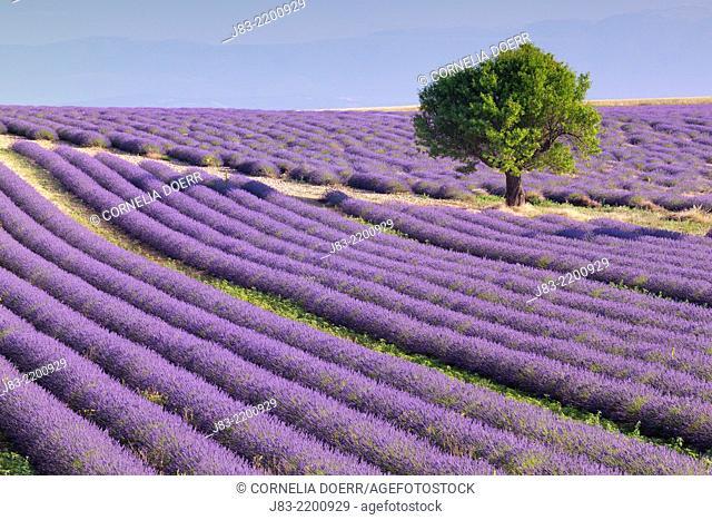 Tree in Lavender field (Lavendula augustifolia), Valensole, Plateau de Valensole, Alpes-de-Haute-Provence, Provence-Alpes-Cote d'Azur, Provence, France