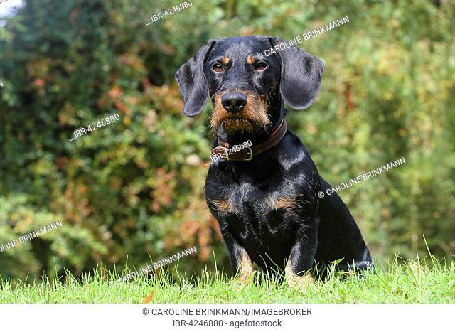 Dachshund, black and reddish brown, 19 months, sitting on lawn, North Rhine-Westphalia, Germany
