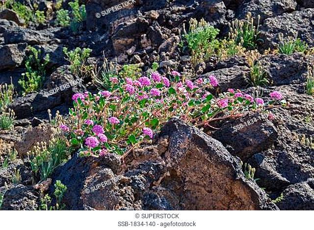 Mojave Sand Verbena Abronia pogonantha flowers on volcanic rocks, Amboy Crater National Natural Landmark, California, USA