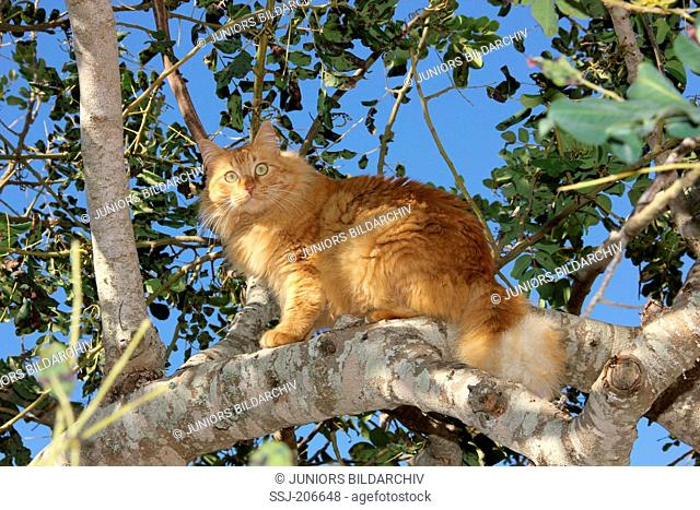 American Longhair, Maine Coon. Red adult on a branch. Spain