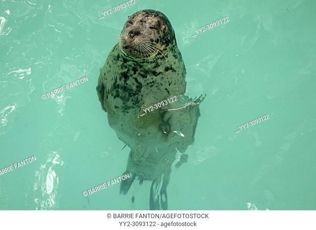 Seal Hanging Out in Aquarium Pool, Niagara Falls, New York, USA
