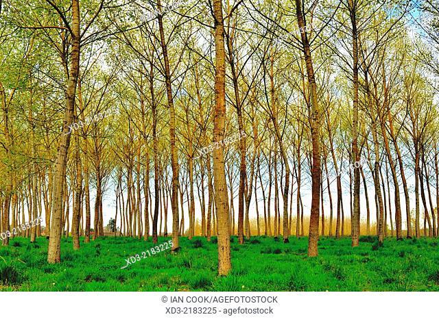 poplar, populus spp., forest near Castillones, Lot-et-Garonne Department, Aquitaine, France