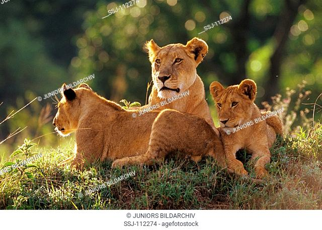 lioness with two cubs / Panthera leo