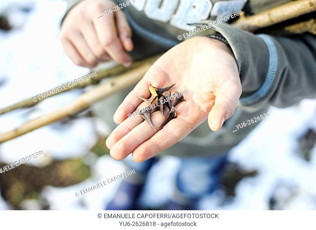 Child hand with acacia thorns