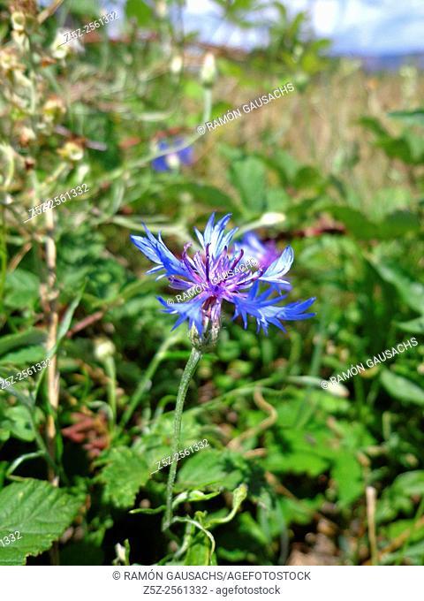 Bluebonnet (Centaurea cyanus)