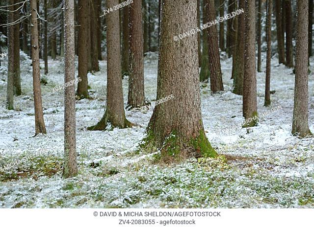 Landscape of Norway spruce (Picea abies) tree-trunks in a forest in winter, Upper Palatinate, Bavaria, Germany