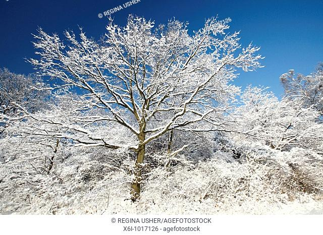 Oak tree, Quercus robur, covered in snow, winter, Harz mountains, Lower Saxony, Germany
