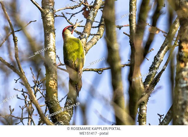 germany, saarland, homburg - A green woodpecker is searching for fodder