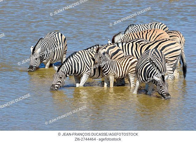 Burchell's zebras (Equus quagga burchellii), adults and young, drinking in a waterhole, Etosha National Park, Namibia, Africa