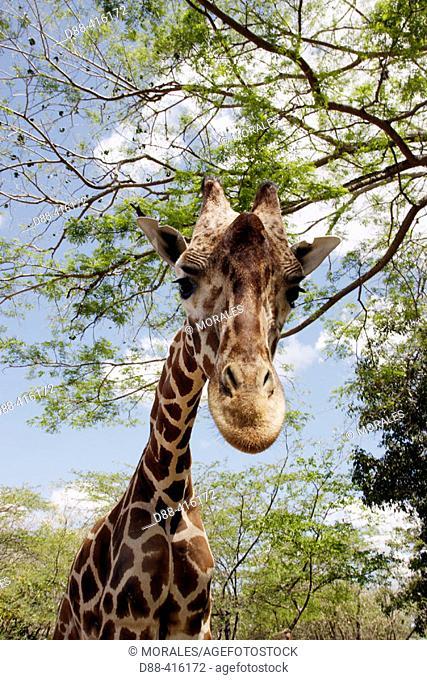Giraffe (Giraffa camelopardalis). Venezuela