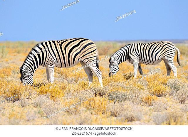 Burchell's zebras (Equus quagga burchellii), grazing, in the arid steppe, Etosha National Park, Namibia, Africa