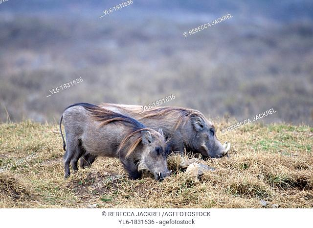 Two warthogs rooting for food