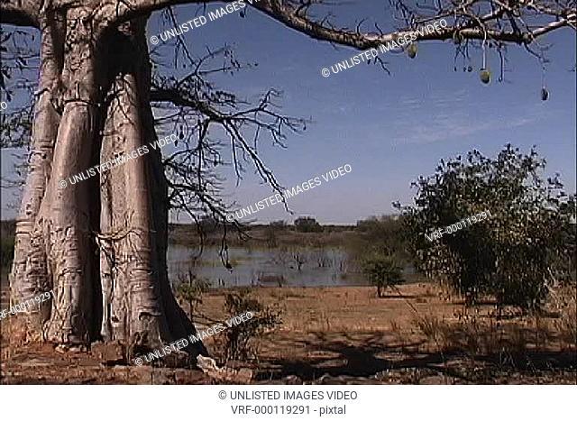 Baobab tree Mali