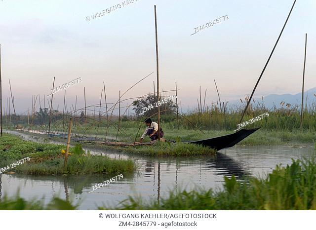 A man is working in the floating man-made islands and floating gardens which are kept in place with bamboo sticks that are attached to the bottom of the lake at...