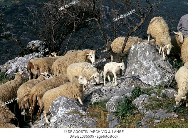 Sheep and lambs between the rocks, Axos, Crete, Greece