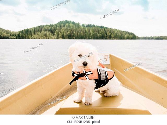 Portrait of coton de tulear dog wearing life jacket sitting on boat, Orivesi, Finland