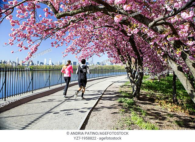 Japanese Cherry Blossoms around the Jacqueline Kennedy Onassis Reservoir, NY, USA