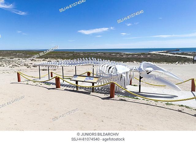 Gray Whale (Eschrichtius robustus) Skeleton on a beach. Mexico, Baja California Sur, Guerrero Negro, Ojo de Liebre Lagoon (formerly known as Scammon's Lagoon)
