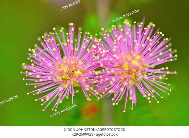 Pink Flowers Of Mimosa Sp Stock Photos And Images Age Fotostock