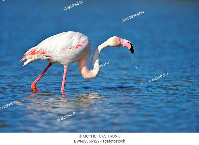 Greater flamingo, American flamingo, Caribbean Flamingo (Phoenicopterus ruber ruber), on the feed in water, USA, Florida, Everglades National Park