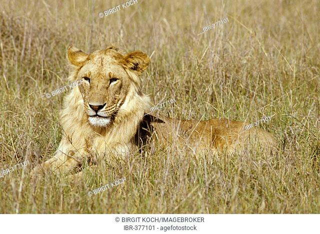 Young male lion (panthera leo) lying in high grass, Masai Mara National Reserve, Kenya
