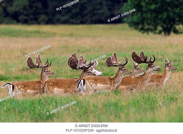 Fallow deer stags Cervus dama / Dama dama with antlers covered in velvet and white morph deer, Denmark