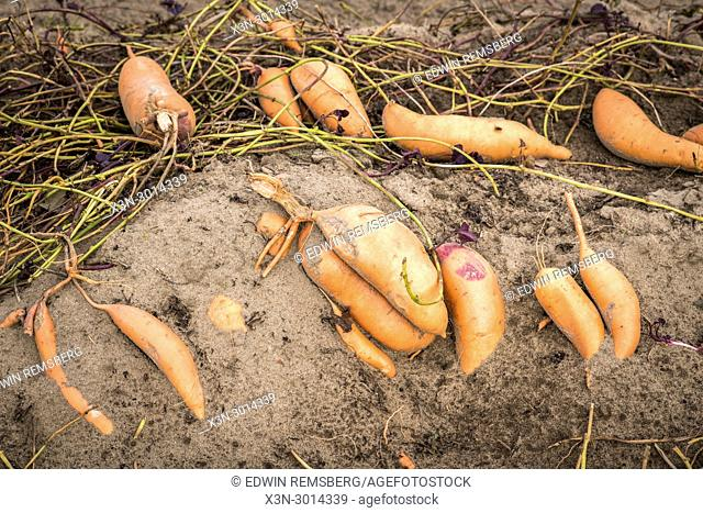 Sweet potatoes still attached to their roots before being harvested, Dorchester County , Maryland, USA