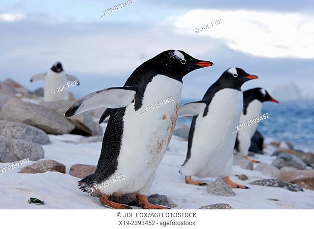 gentoo penguins marching in line through rocky terrain Neko Harbour Antarctica