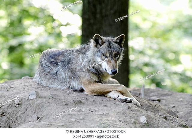 Wolf, Canis lupus, resting with front paws crossed, Germany