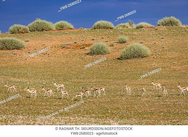 Gazelles grazing, Etosha National Park, Namibia, Africa