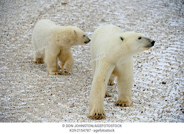 Polar Bear (Ursus maritimus) Mother with first-year cub , Wapusk NP, Cape Churchill, Manitoba, Canada