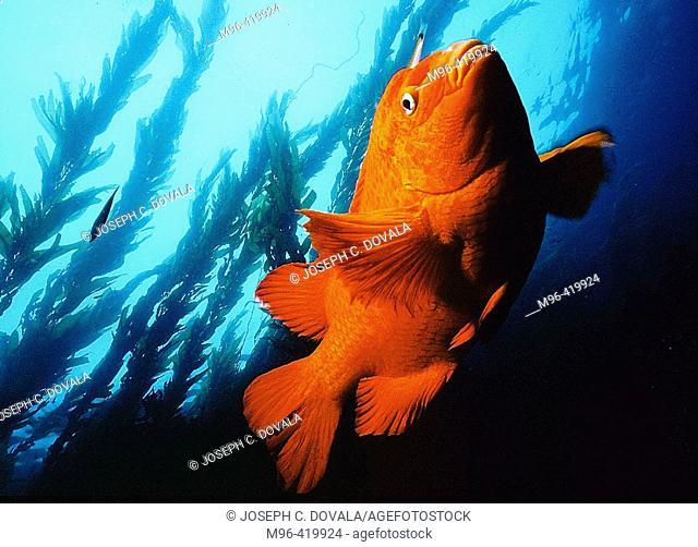 Garibaldi state fish of California. USA