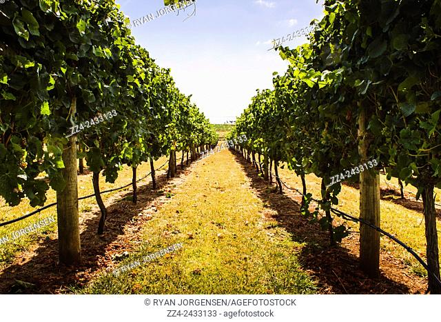 Landscape farming and agriculture photo on a country vineyard grapevine running parallel into the distance at an idyllic Tasmania Winery