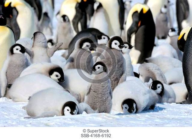 ANTARCTICA, WEDDELL SEA, SNOW HILL ISLAND, EMPEROR PENGUIN COLONY Aptenodytes forsteri, GROUP OF CHICKS