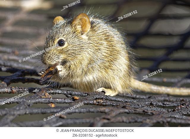 Four-striped grass mouse (Rhabdomys pumilio), on the grill, nibbling a piece of grilled meat, Mountain Zebra National Park, Eastern Cape, South Africa, Africa
