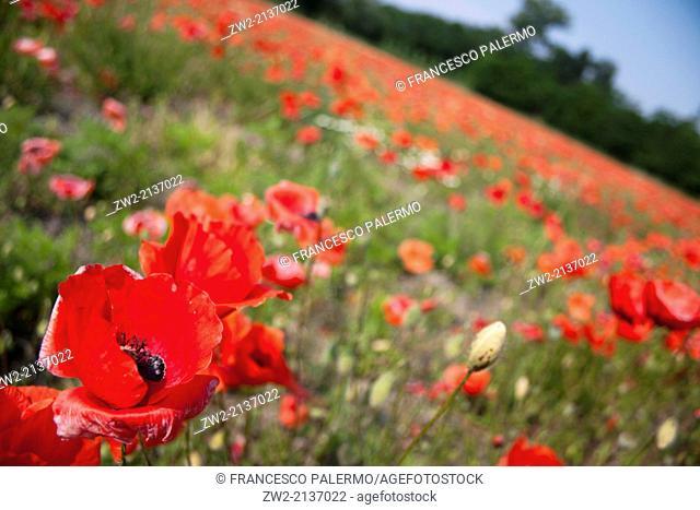 Fantastic field of red poppy. Alagna, Lombardia. Italy