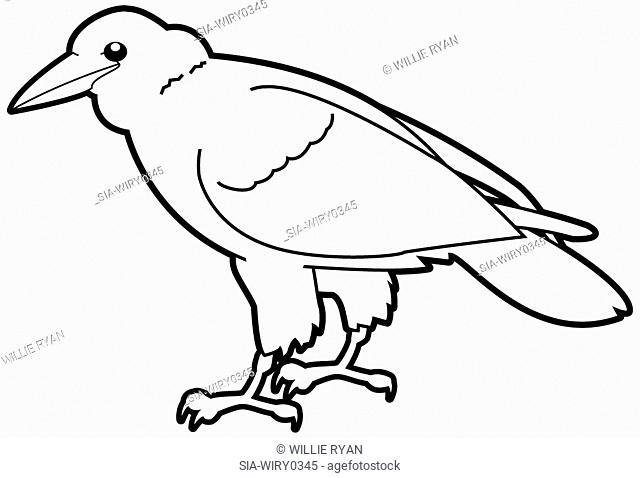 Crow on white background