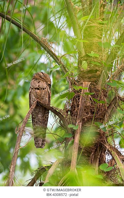 Grey Potoo or Common Potoo (Nyctibius griseus), sleeping in a palm tree, Pantanal, Mato Grosso, Brazil