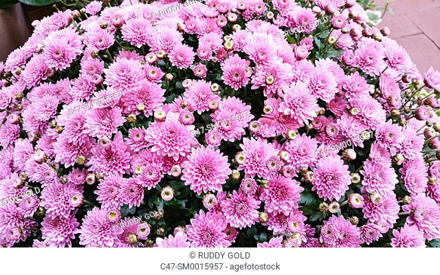 Chrysanthemum, Garden center, Mataro, Barcelona, Spain